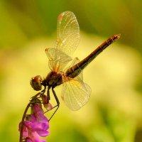 эстетка на цветке :: Александр Прокудин