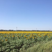 Подсолнуховое поле :: Алла ZALLA