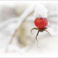 Шиповник  остается зимовать... :: марк