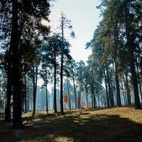 Утро в сосновом лесу :: Владимир Бровко