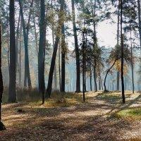 Утро в сосновом лесу  Фото №2 :: Владимир Бровко