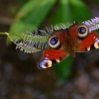 Яркая бабочка села на скромный цветок :: Ольга Русанова (olg-rusanowa2010)
