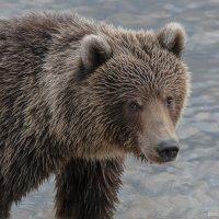 портрет медведя :: Александр Поборчий