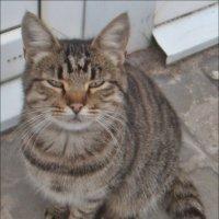Котик с прищуром :: Нина Корешкова