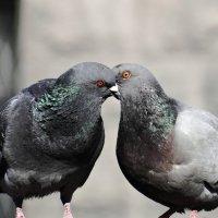 Голуби целуются :: Konstantin K