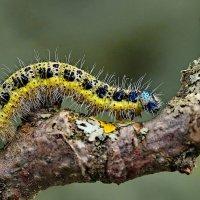 Гусеница бабочки капустницы :: Игорь Осипов