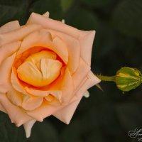 Розовая роза :: Александр Волков