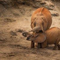Слоны, добывающие себе воду :: Ольга Петруша