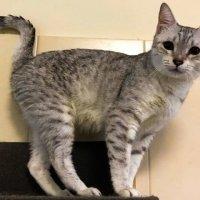 Египетская мау котята 1 :: Valentina Ariel