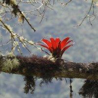 Аленький цветочек (Бромелия) :: чудинова ольга