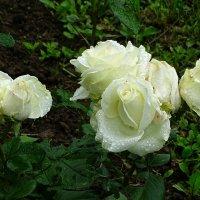 О белых розах :: Милешкин Владимир Алексеевич