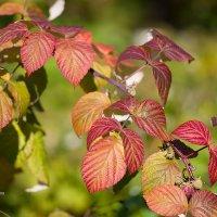Осенние листья малины :: Александр Синдерёв
