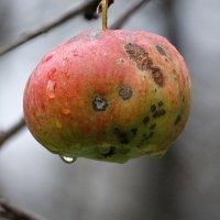 Декабрьское яблоко :: azer Zade