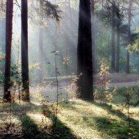 Утро в сосновом лесу.... :: Юрий Цыплятников