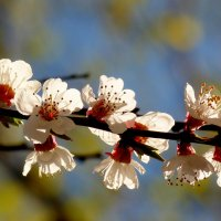 белые цветы весны :: Александр Прокудин