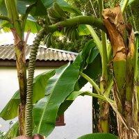 Бананы :: Наталья Маркелова
