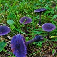 Фиолетовые грибочки. :: Сергей Чиняев