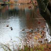 Пруд с утками в ноябре... :: Тамара (st.tamara)