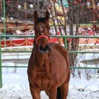 Конюшня Новосибирского зоопарка :: Владимир Шадрин