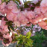 Декоративная вишня :: svetlana.voskresenskaia