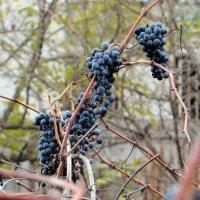 Виноград в ноябре :: Наталья (D.Nat@lia)