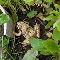 Лягушка своя, садовая. :: Farin Алёна