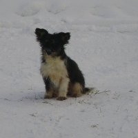 Карельские собаки-2 :: Марина Домосилецкая