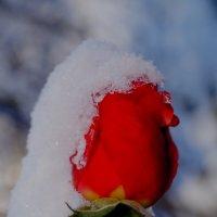 Снежная роза :: Дина Дробина