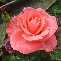 Зацветают цветы на наших страницах.Царица :: Лидия (naum.lidiya)