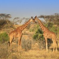 Два жирафа в саванне :: Ольга Петруша