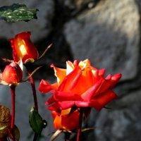 Розы ноября :: Наталья (D.Nat@lia)
