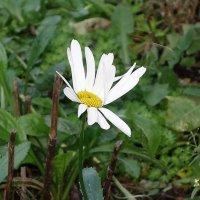 Запоздалые цветы в декабре - Ромашка :: Маргарита Батырева