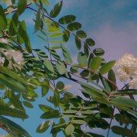 Цветение рябины :: Фотогруппа Весна.