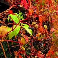 Красивая ограда с диким виноградом :: Сергей Карачин