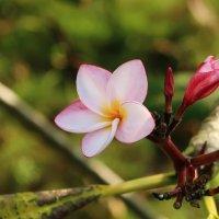 Цветок плюмерии :: Mari_L