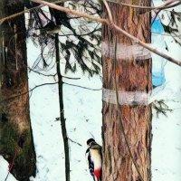 Дятел на дереве. :: Вадим Басов