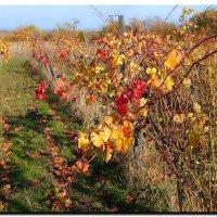 Виноградная  лоза. :: Ivana