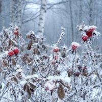 #вдохновение_nikon. Красное на белом, в начале зимы :: Николай Белавин
