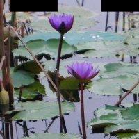 Непал. Лотосы на озере в Лумбини :: Gal` ka