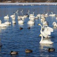 Лебеди на зимовке, Алтай :: Алина Меркурьева