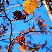 Ягоды рябины гроздьями висят... :: Тамара (st.tamara)