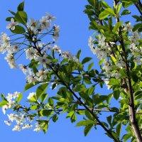 Цветёт вишневый сад. :: Валентина ツ ღ✿ღ