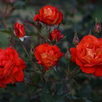« Красные розы горели Рубиновым светом в ночи...» :: Андрей Нибылица