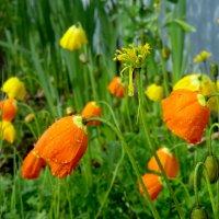 Маки садовые :: Светлана Игнатьева