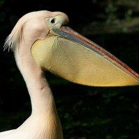 Профиль пеликана :: Swetlana V