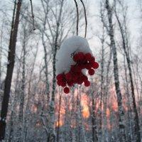 почему калина красная ? :: Владимир Коваленко