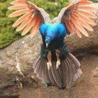 павлины тоже летают :: Naum