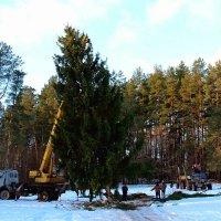 В лесу родилась ёлочка, В лесу она росла... :: Нина Бурченкова.