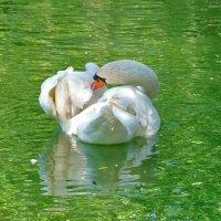 Белый лебедь в изумрудной воде..! :: Наталья