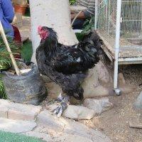 Курица тоже грозная птица,если таких размеров :: Герович Лилия